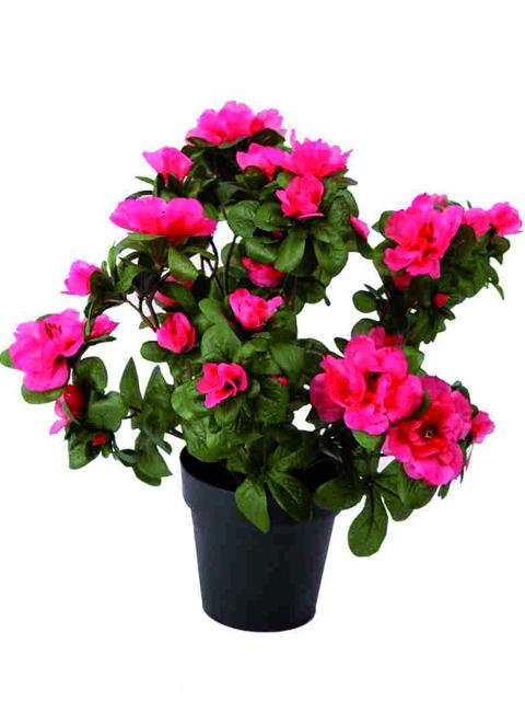 pianta di azalea rosa a domicilio