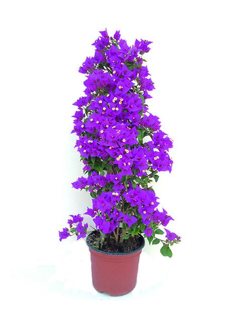 pianta di bouganvillee a domicilio
