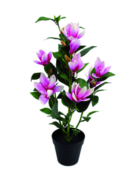 pianta di magnolia a domicilio