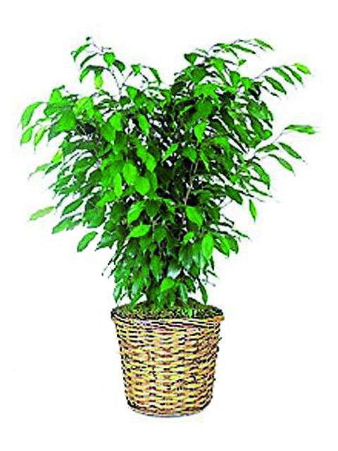 pianta ficusbush a domicilio