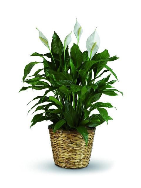 pianta di spathiphyllum a domicilio