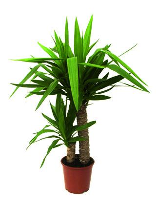pianta di yucca a domicilio